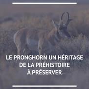 Le pronghorn