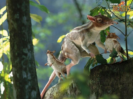 Le Leptictidium, un petit mammifère européen de l'Eocène