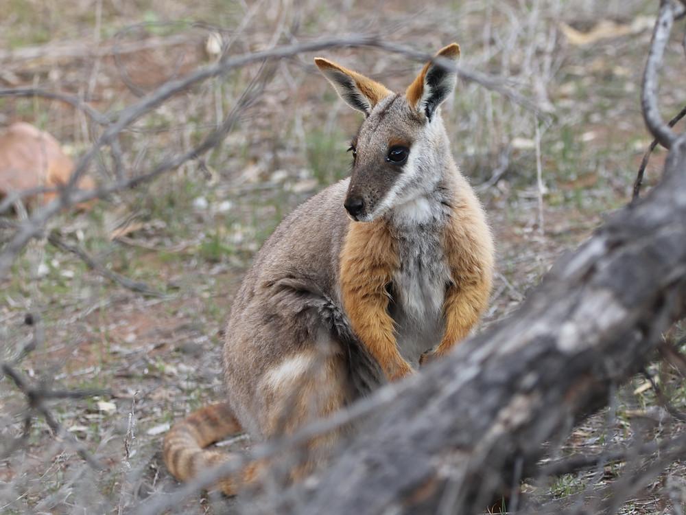 Wallaby des rochers à queue annelée (Petrogale xanthopus)