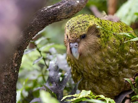 Un mystérieux perroquet marcheur, le kakapo