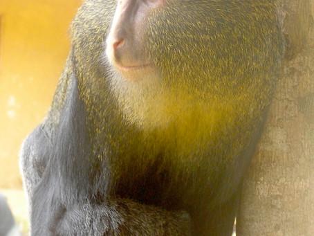 Le lesula et le cercopithèque à tête de hibou, deux cousins à l'avenir fragile