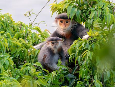 Les doucs, des primates hauts en couleurs d'Asie du Sud-Est