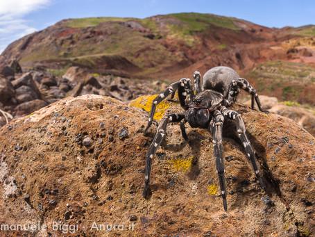 La plus grande araignée d'Europe est menacée d'extinction