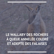Wallaby des rochers
