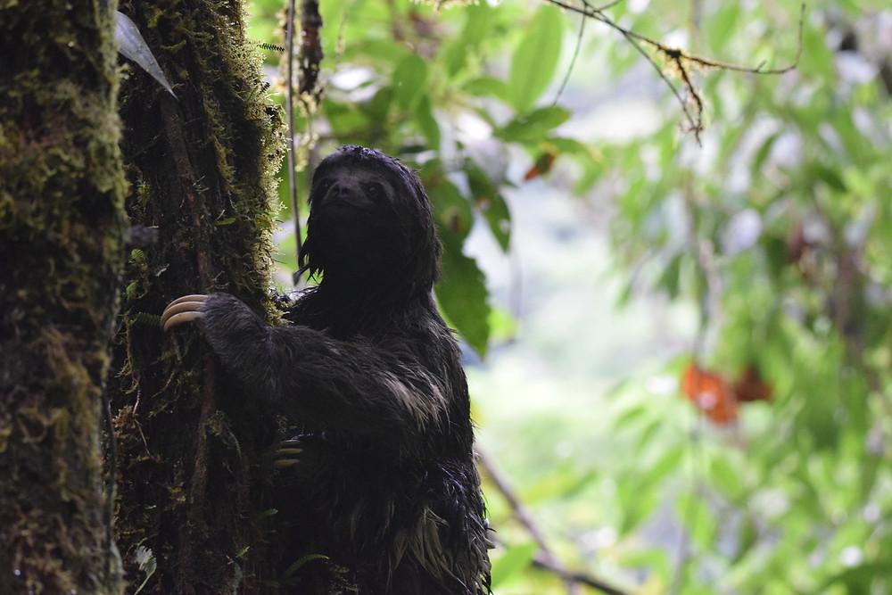 Paresseux à gorge brune (Bradypus variegatus) à Merazonia