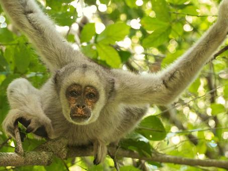 Un primate méconnu et menacé, le muriqui