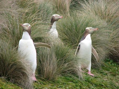 La tentative de sauvetage d'un manchot menacé de Nouvelle-Zélande