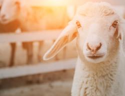 sheep-1587530_1920