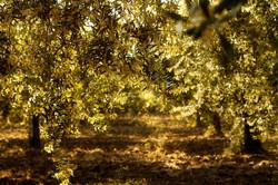 Olivi+al+tramonto