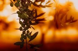 L'alba e gli ulivi