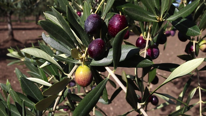 Olive10
