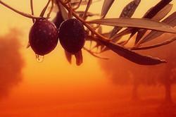 Olive e nebbia