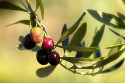Olive potate