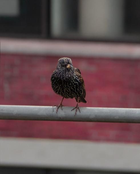 IMG_7827-Bird on Rail.jpg