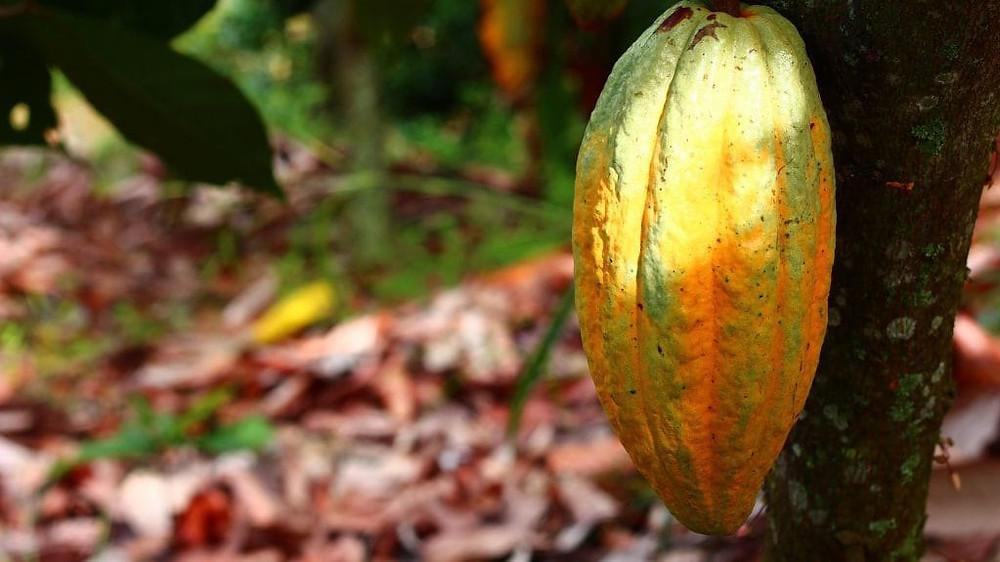 cocoa-1529743_1920