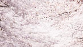 桜【さくら】
