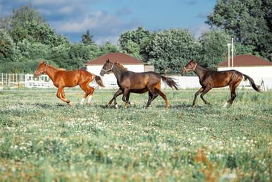 Табун молодых лошадей