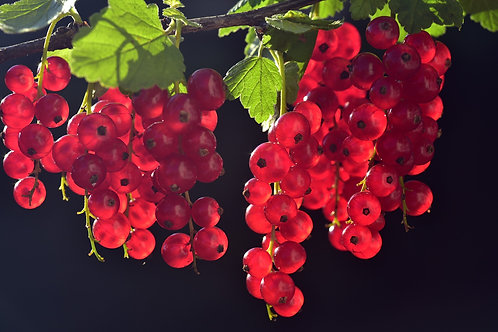 RED CURRANTS 450g