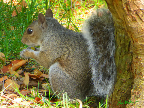 Squirrel at lunch.jpg