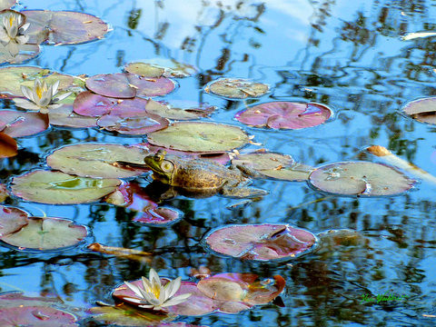 Frog in Lily pond.jpg