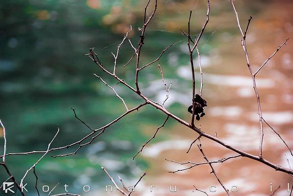 קורי ענפים