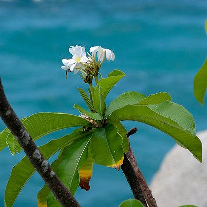 פרח לבן על מצע של ים טורקיז