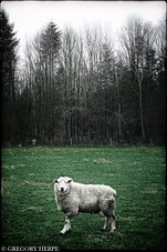A Fucking Danish Sheep - Marstal, Ærø, Denmark
