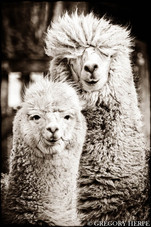 We're alpacas and fuck you - Eibergen, The Netherlands