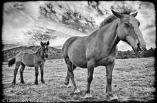 Horses of the peak - Carlit, France