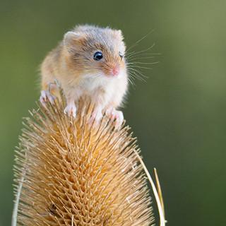 Harvest Mouse on Teasel
