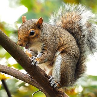 squirreltheif.jpg