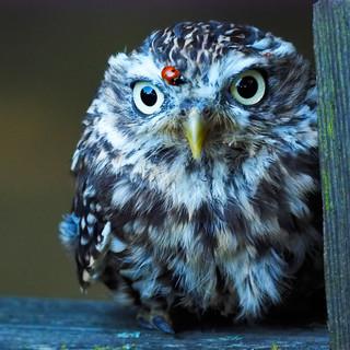 littleowlladybird.jpg