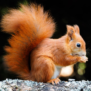 red-squirrel-better.jpg