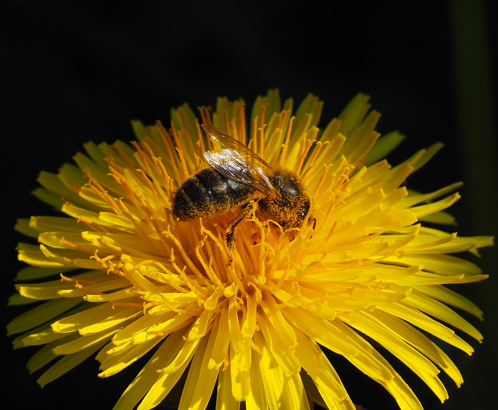 Honey Bee on Dandelion flower. Photography by Janice Gill