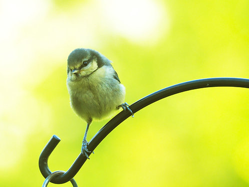 Blue Tit Chick Downloadable File.