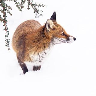foxdave.jpg
