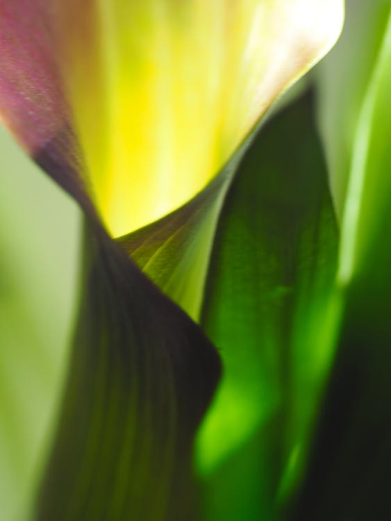 Calla Lily lit with torch