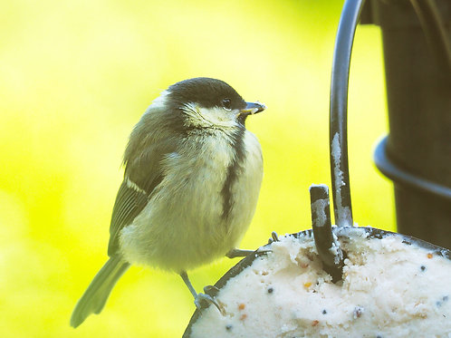 Great Tit Chick Downloadable File
