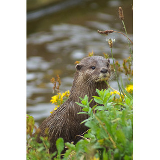River bank otter