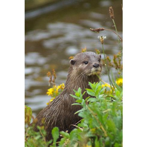 Riverside Otter