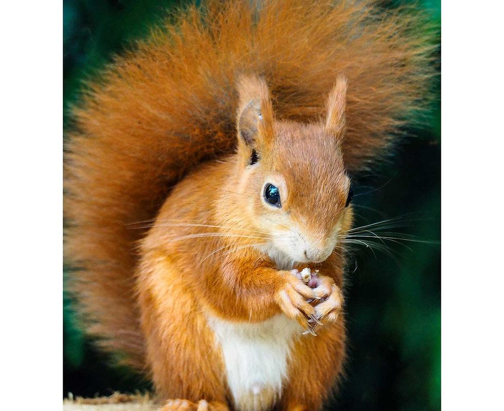 Red-squirrel1sq.jpg