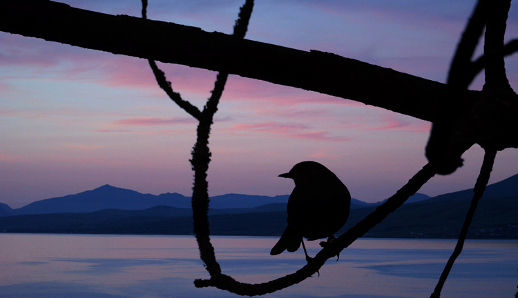 Looking Out to Sea Chaffinch silhouette against view of Cardigan Bay at Sunset