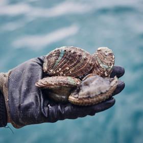 Ormeaux de Plouguerneau élevés en pleine mer © Alexandre Lamoureux