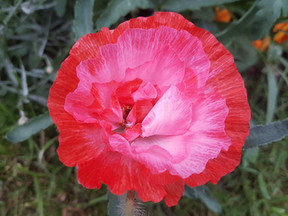 SHADES OF NATURE. Poppies.