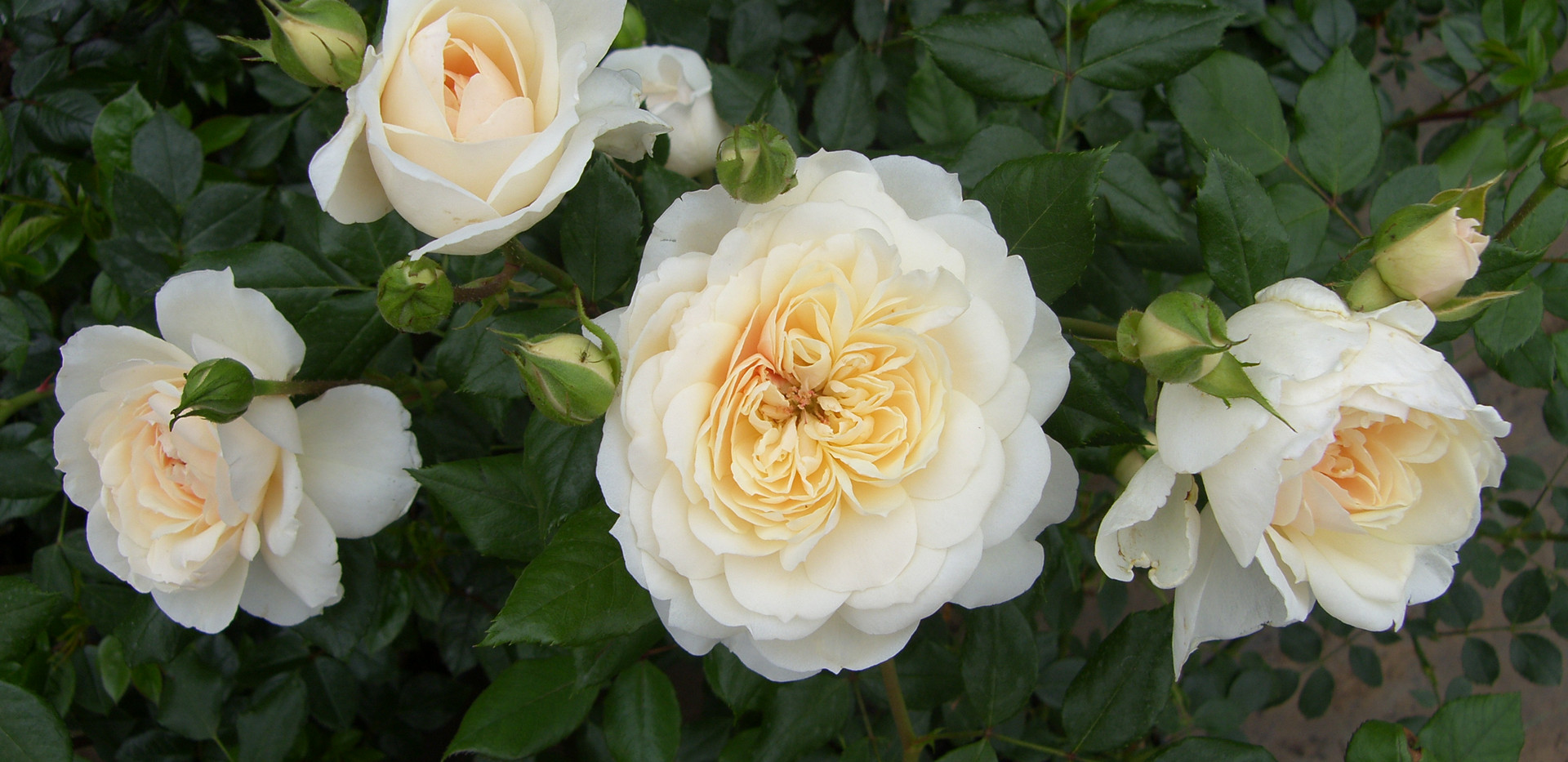 Q Jubilee Rose