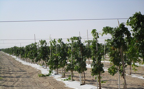Grapes after 10 months_Abu Dhabi.jpg