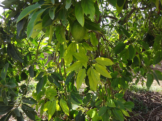 Small avocado farm makes $34,500 in extra revenue in the first harvest using ALVÁTECH's ALVÁ5