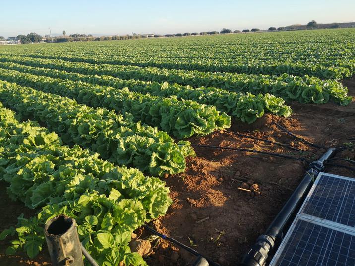 Lettuce field, Alva-5 in Spain