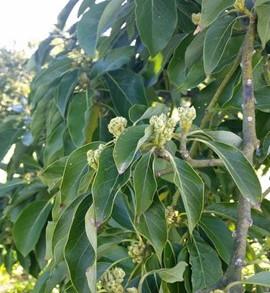 Increase flowering on treated trees