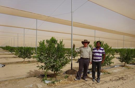 Lime plantation_Abu Dhabi.jpg